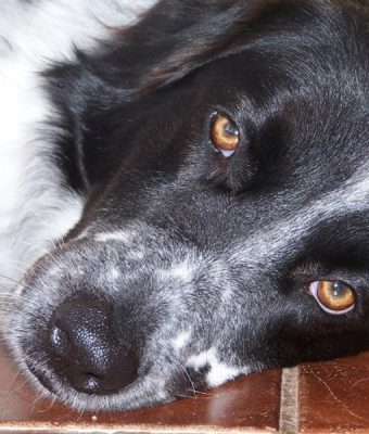 A white and black Border Collie laying down on a tile floor